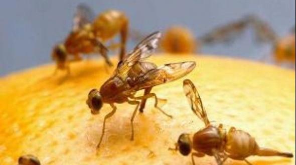 Controles aéreos contra la plaga mosca de los frutos