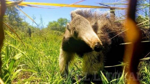 Un nuevo oso hormiguero llega a los Esteros del Iberá