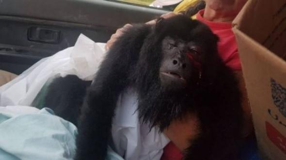 Rescataron a un mono carayá herido en la cara de un machetazo
