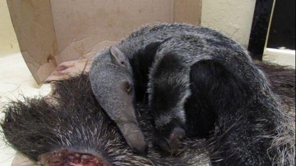 Cría de oso hormiguero se aferró a la cola de su madre muerta