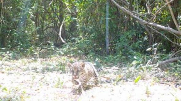 Dos cachorros de yaguareté nacieron en el Parque Iberá