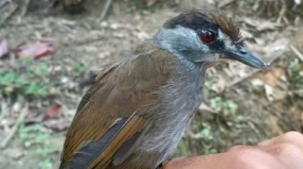 Indonesia: redescubren un ave que creían extinta hace más de 170 años
